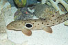 Epaulette shark.  The epaulette shark is primarily nocturnal, hunting for crabs, worms and invertebrates by crawling across the bottom on its overlarge fins. Image #14961