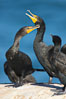 Double-crested cormorant, La Jolla cliffs, near San Diego. California, USA. Image #15090