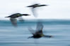Double-crested cormorants in flight at sunrise, long exposure produces a blurred motion. La Jolla, California, USA. Image #15280