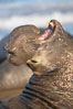 Bull elephant seal, adult male, bellowing. Its huge proboscis is characteristic of male elephant seals. Scarring from combat with other males.  Central California. Piedras Blancas, San Simeon, California, USA. Image #15390