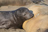 Elephant seal pup nurses.  The pup will nurse for 27 days, when the mother stops lactating and returns to the sea.  The pup will stay on the beach 12 more weeks until it becomes hungry and begins to forage for food. Piedras Blancas, San Simeon, California, USA. Image #15419