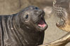 Elephant seal mother and pup vocalize to one another constantly, likely to reassure the pup and confirm the maternal identity on a crowded beach.  Central California. Piedras Blancas, San Simeon, California, USA. Image #15421