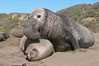 A bull elephant seal forceably mates (copulates) with a much smaller female, often biting her into submission and using his weight to keep her from fleeing.  Males may up to 5000 lbs, triple the size of females.  Sandy beach rookery, winter, Central California. Piedras Blancas, San Simeon, USA