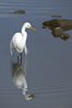 Great egret (white egret). Upper Newport Bay Ecological Reserve, Newport Beach, California, USA. Image #15656