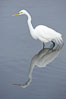 Great egret (white egret). Upper Newport Bay Ecological Reserve, Newport Beach, California, USA. Image #15657