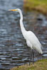 Great egret (white egret). Santee Lakes, California, USA. Image #15658