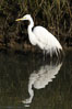 Great egret (white egret). Upper Newport Bay Ecological Reserve, Newport Beach, California, USA. Image #15659