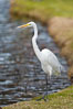 Great egret (white egret). Santee Lakes, California, USA. Image #15660