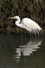Great egret (white egret). Upper Newport Bay Ecological Reserve, Newport Beach, California, USA. Image #15661