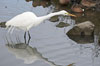 Great egret (white egret). Upper Newport Bay Ecological Reserve, Newport Beach, California, USA. Image #15663