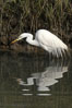 Great egret (white egret). Upper Newport Bay Ecological Reserve, Newport Beach, California, USA. Image #15665