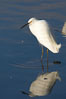 Snowy egret. Upper Newport Bay Ecological Reserve, Newport Beach, California, USA. Image #15667