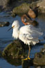Snowy egret. Upper Newport Bay Ecological Reserve, Newport Beach, California, USA. Image #15668