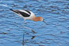 American avocet, female breeding plumage, forages on mud flats. Upper Newport Bay Ecological Reserve, Newport Beach, California, USA. Image #15675