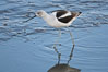 American avocet, male winter plumage, forages on mud flats. Upper Newport Bay Ecological Reserve, Newport Beach, California, USA. Image #15676
