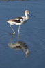 American avocet, forages on mud flats. Upper Newport Bay Ecological Reserve, Newport Beach, California, USA. Image #15678