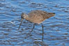 Marbled godwit, foraging on mud flats. Upper Newport Bay Ecological Reserve, Newport Beach, California, USA. Image #15684