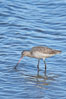 Marbled godwit, foraging on mud flats. Upper Newport Bay Ecological Reserve, Newport Beach, California, USA. Image #15685