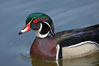 Wood duck, male. Santee Lakes, California, USA. Image #15692