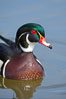 Wood duck, male. Santee Lakes, California, USA. Image #15693