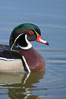 Wood duck, male. Santee Lakes, Santee, California, USA. Image #15696