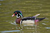 Wood duck, male. Santee Lakes, California, USA. Image #15697