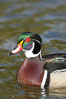 Wood duck, male. Santee Lakes, California, USA. Image #15701