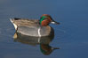 Green-winged teal, male. Upper Newport Bay Ecological Reserve, Newport Beach, California, USA. Image #15702