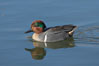 Green-winged teal, male. Upper Newport Bay Ecological Reserve, Newport Beach, California, USA. Image #15703