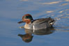 Green-winged teal, male. Upper Newport Bay Ecological Reserve, Newport Beach, California, USA. Image #15704
