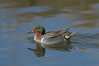Green-winged teal, male. Upper Newport Bay Ecological Reserve, Newport Beach, California, USA. Image #15707