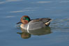 Green-winged teal, male. Upper Newport Bay Ecological Reserve, Newport Beach, California, USA. Image #15708