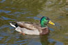 Mallard, male. Santee Lakes, California, USA. Image #15713