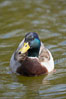 Mallard, male. Santee Lakes, California, USA. Image #15714