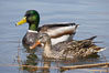 Mallard, female (foreground) and male. Santee Lakes, California, USA. Image #15716