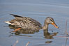 Mallard, female. Santee Lakes, California, USA. Image #15717