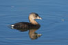 Pied-billed grebe. Upper Newport Bay Ecological Reserve, Newport Beach, California, USA. Image #15728