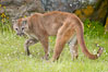 Mountain lion, Sierra Nevada foothills, Mariposa, California. Image #15794