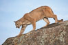Mountain lion, Sierra Nevada foothills, Mariposa, California. Image #15795