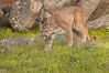Mountain lion, Sierra Nevada foothills, Mariposa, California. Image #15796