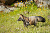 Cross fox, Sierra Nevada foothills, Mariposa, California.  The cross fox is a color variation of the red fox. Image #15958