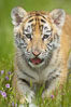 Siberian tiger cub, male, 10 weeks old. Image #15988