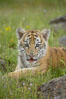 Siberian tiger cub, male, 10 weeks old. Image #15992