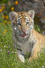 Siberian tiger cub, male, 10 weeks old. Image #15993
