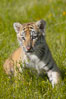 Siberian tiger cub, male, 10 weeks old. Image #15997