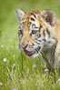 Siberian tiger cub, male, 10 weeks old. Image #15998