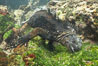 Marine iguana, underwater, forages for green algae that grows on the lava reef. Bartolome Island, Galapagos Islands, Ecuador. Image #16227