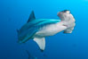 Scalloped hammerhead shark. Darwin Island, Galapagos Islands, Ecuador. Image #16249
