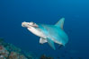 Scalloped hammerhead shark. Darwin Island, Galapagos Islands, Ecuador. Image #16251