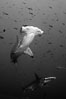 Scalloped hammerhead shark, black and white / grainy. Wolf Island, Galapagos Islands, Ecuador. Image #16252